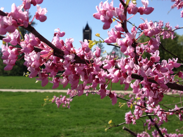 Apple tree blossoms on campus picture
