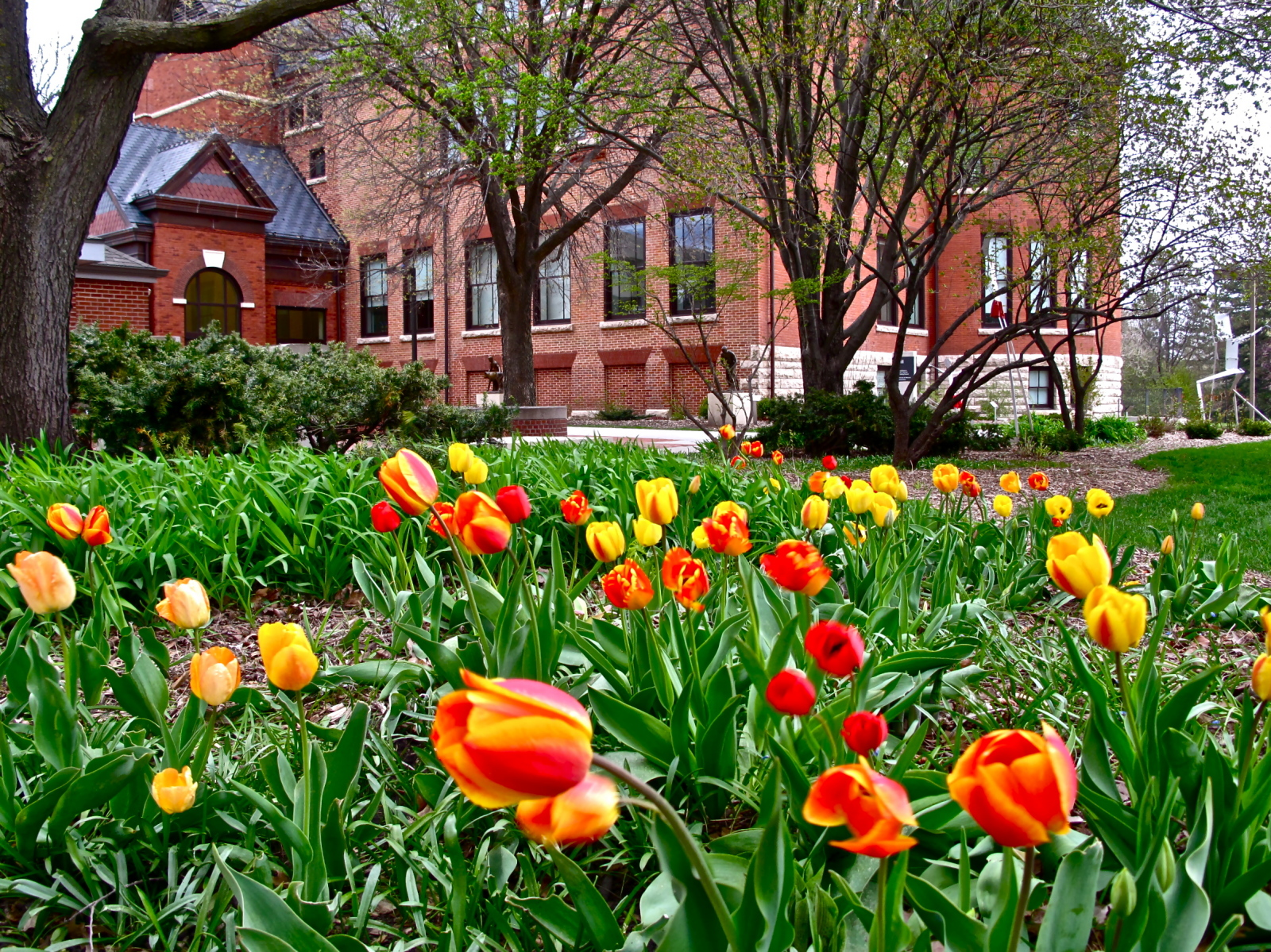 Picture of tulips in front of Morrill Hall
